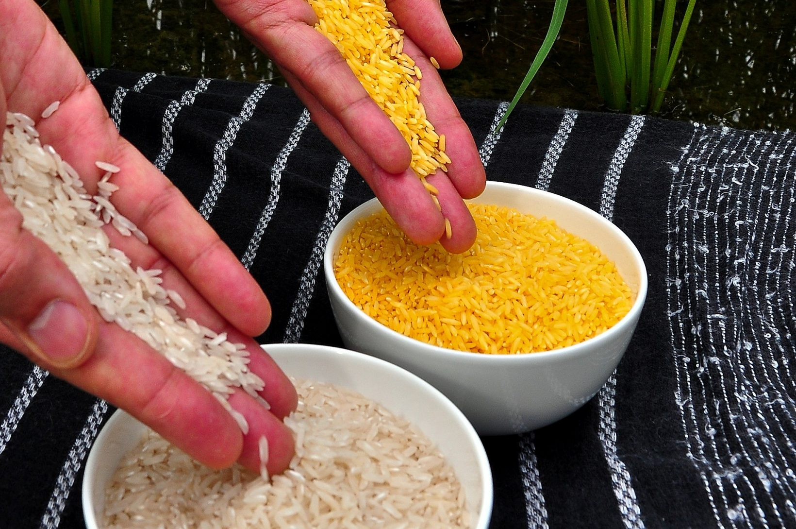 golden-rice-is-allowed-in-the-philippines.-to-whom-and-how-will-this-help?