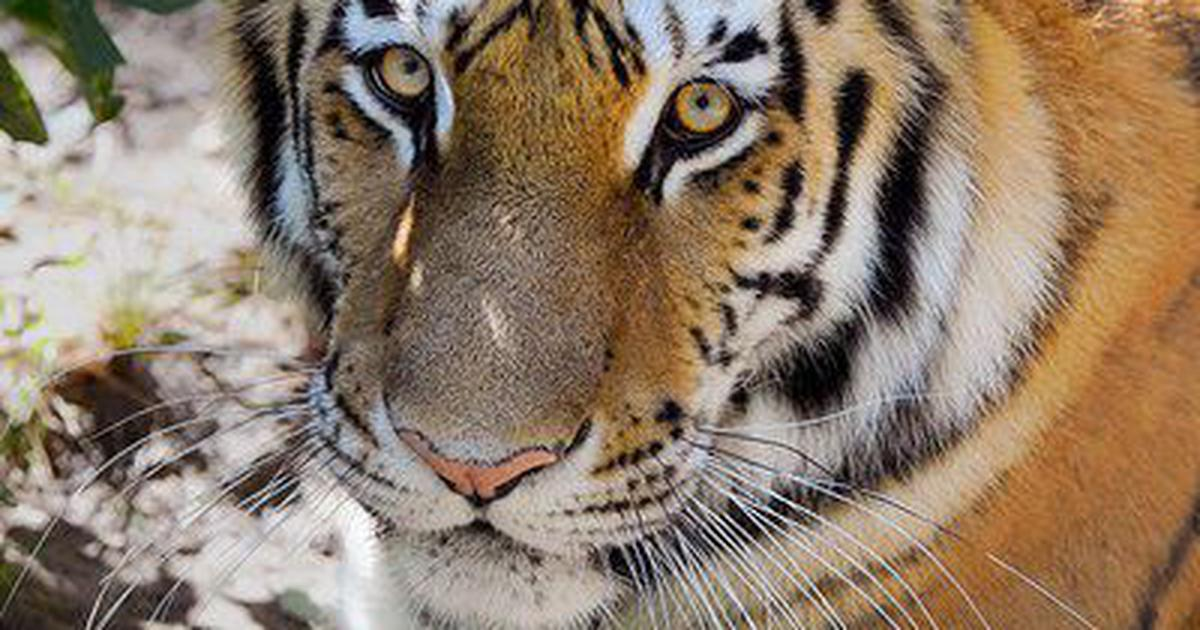 a-tigress-from-the-bronx-zoo-caught-the-coronavirus-this-is-the-first-recorded-case-of-its-transmission-from-humans-to-animals.