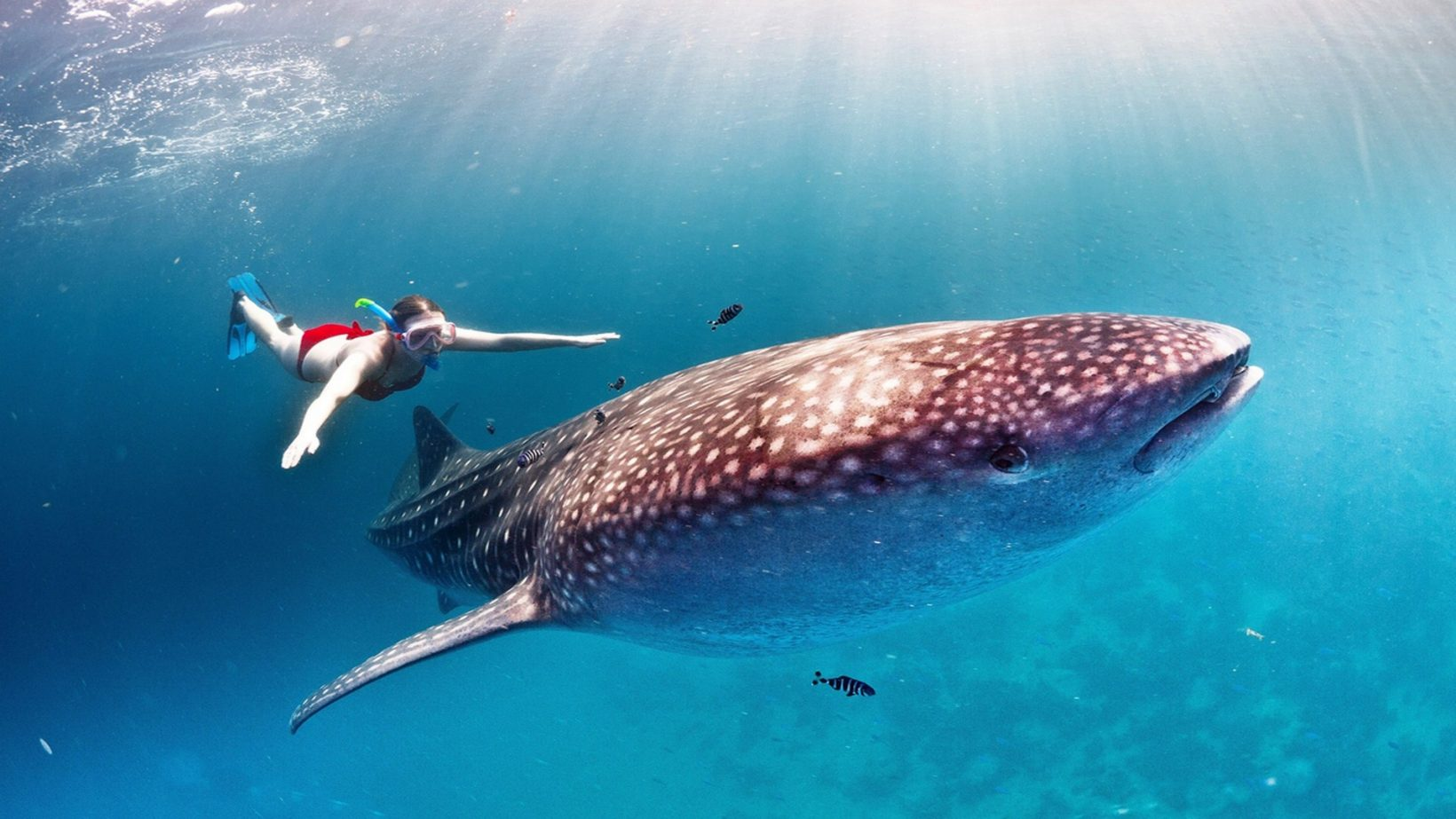 how-many-whale-sharks-live?-we-know-the-answer-through-cold-war-nuclear-tests