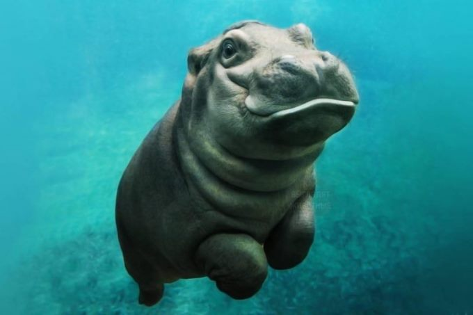 a-selection-of-cute-hippos
