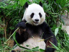 bamboo-ran-out-due-to-a-pandemic.-in-canada,-the-zoo-is-forced-to-return-to-china-pandas