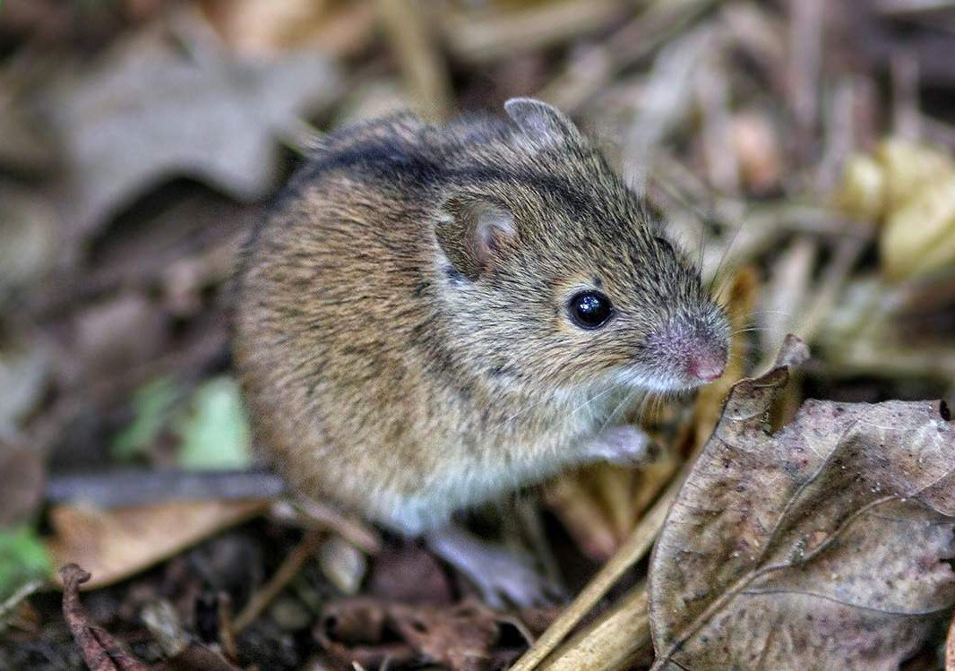 40-interesting-facts-about-mice:-their-structure,-habits-and-lifestyle