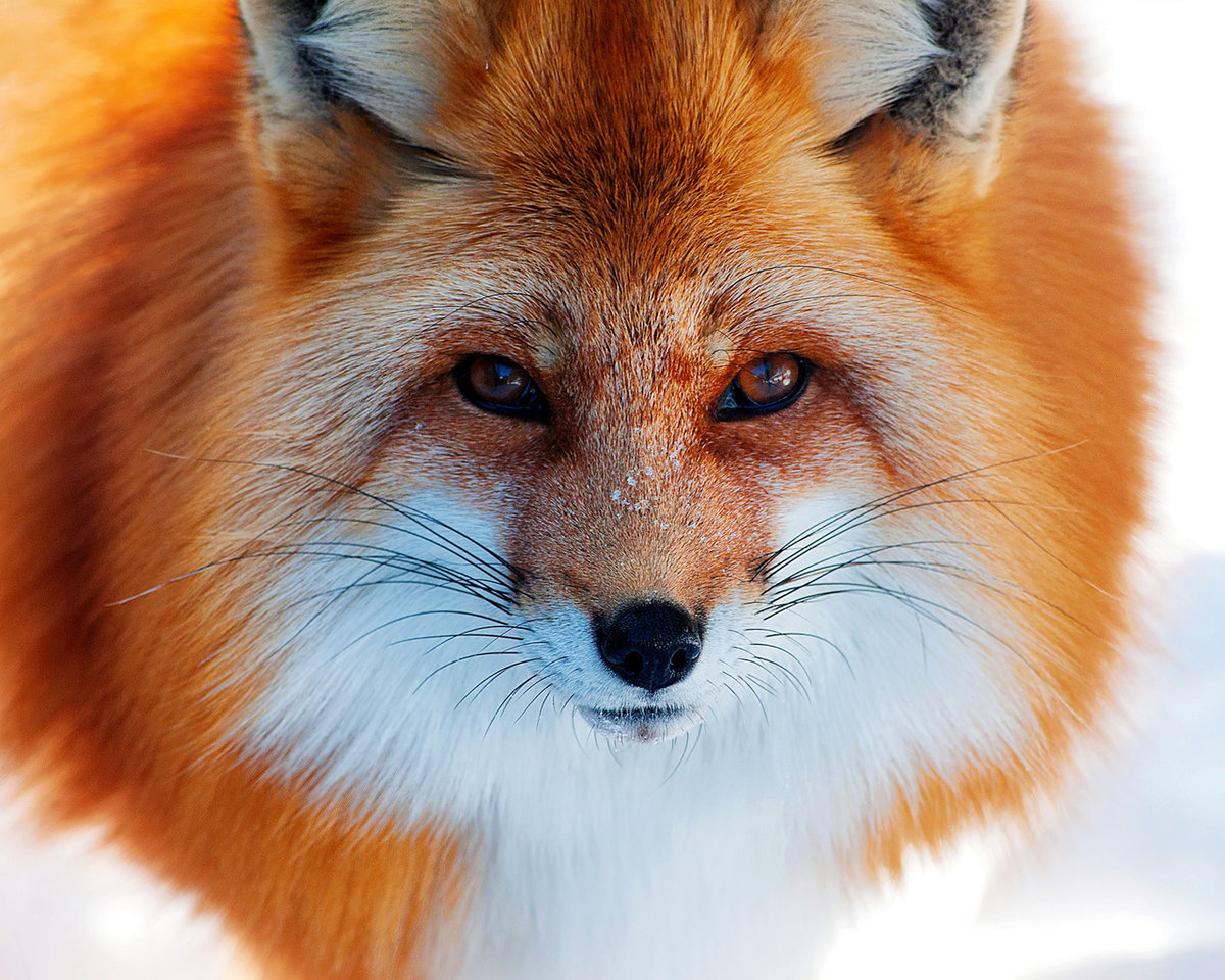 17-facts-about-foxes:-habits,-bloodless-hunting-and-foxes-in-human-form