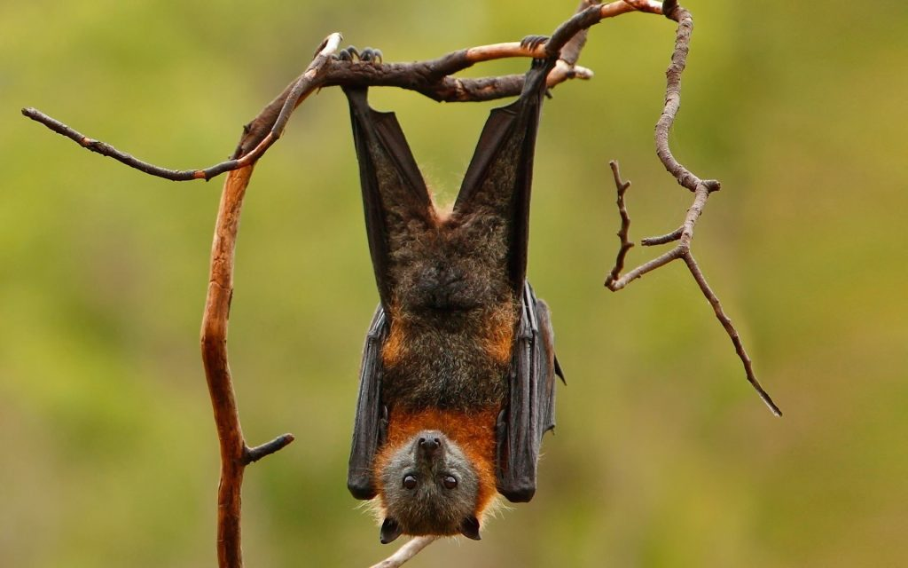 16-facts-and-one-tenacious-fiction-about-bats