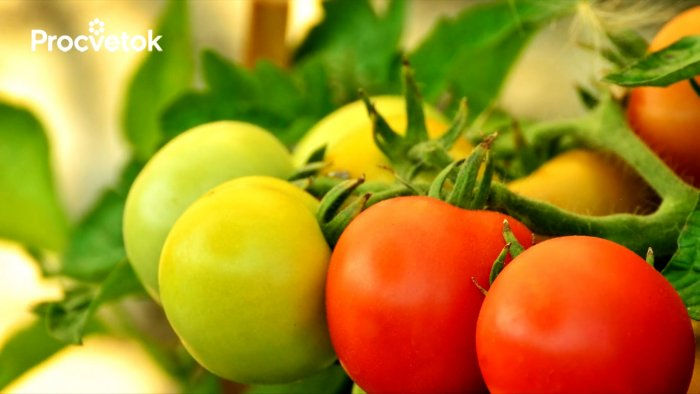 Vertex rot of tomatoes will no longer be if you water them with this product