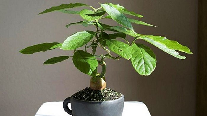 12 Easy Steps to Growing Avocados: An Interesting Hobby Idea