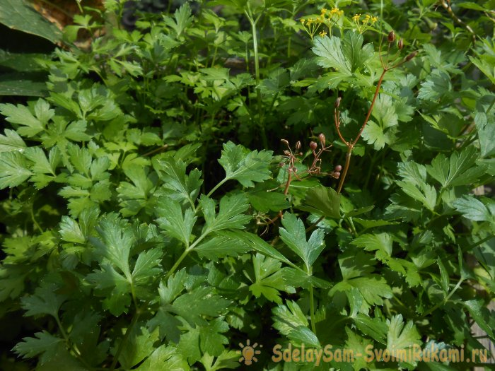 How to grow parsley on a windowsill in winter and summer Step-by-step photo instruction with secrets
