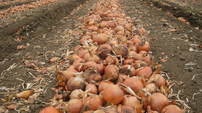 How to grow a record harvest of onions