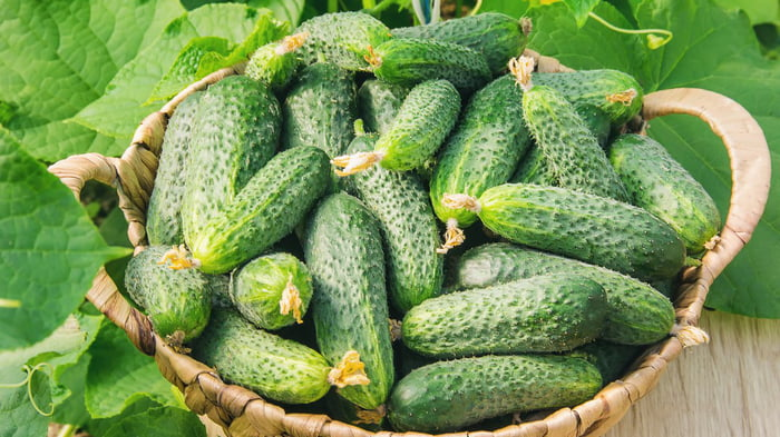 How to grow cucumbers under plastic